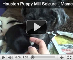Houston Puppy Mill dogs in foster care